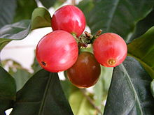 220px-Coffee_berries_1