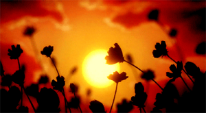 wildflower_sunset