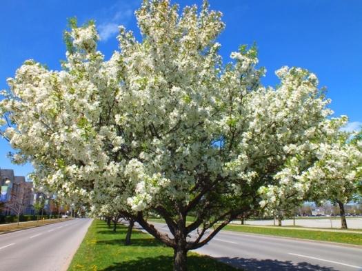 white_spring_blooms_14_FreeTiiuPix.com
