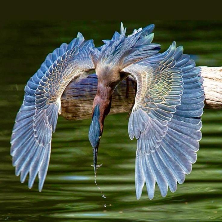 """Blue Heron"", by Peggy Colmane"