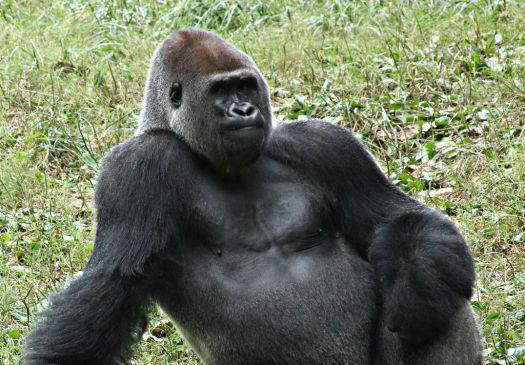 male_gorilla