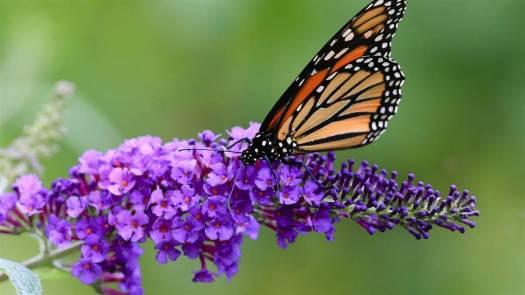 a_101_monarchbutterflies_160420.nbcnews-ux-1080-600