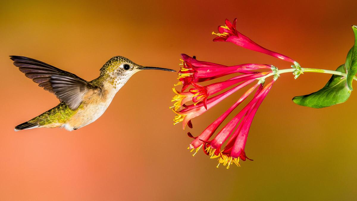 Hummingbird hovering at red trumpet vine blossom